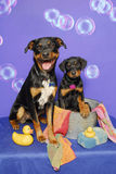 Rotties at Bath time Stock Photo