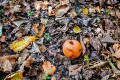 Rotting apple on the ground Royalty Free Stock Photography