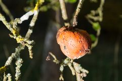 Rotting apple hanging on tree. In winter Royalty Free Stock Images