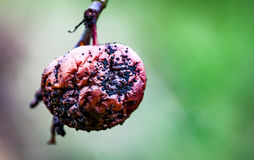Rotting apple still on the tree Stock Photo