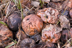 Rotting Apples. On the garden ground Royalty Free Stock Images