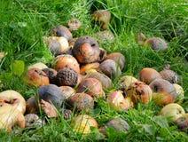 Rotting apples Royalty Free Stock Photo