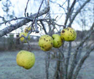 Rotting Apples Royalty Free Stock Photos