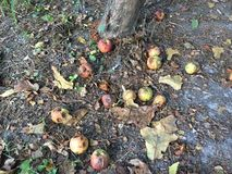 Rotting Apples at the base of the tree. Rotting apples and dying leaves at the base of the tree. Some red apples, some yellow, some green. Some apples with stock photography