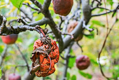 Rotting apples Royalty Free Stock Photography
