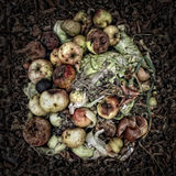 Rotting Apples. On a Compost Heap. Artistically alienated to create a grungy somber atmosphere Royalty Free Stock Image