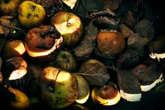 Rotting apples in crate. Unhealthy nature concept Stock Image