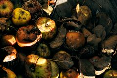 Rotting apples in crate. Unhealthy nature concept Royalty Free Stock Photo