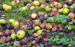 Rotting Apples in garden. A huge amount of rotting apples lying under the trees Stock Photography