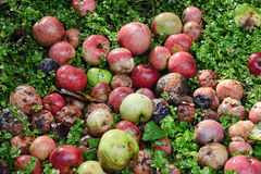 Rotting Apples in garden Royalty Free Stock Image