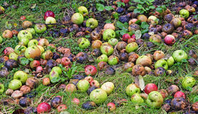 Rotting Apples in garden Royalty Free Stock Photos