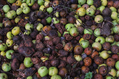 Rotting apples and pears - close view. Heap of rotten apples and pears, close view Royalty Free Stock Photos