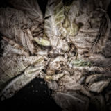 Rotting Cabbage Leaves Stock Photo