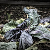 Rotting Cabbage Leaves Stock Image