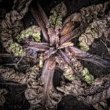 Rotting Chard Plant Stock Image