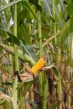 Rotting corn still on the stalk. Corn that was never picked rotting on the stalk Stock Photo
