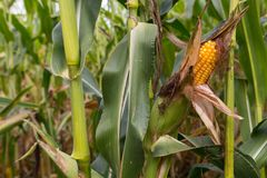 Rotting corn still on the stalk. Corn that was never picked rotting on the stalk Royalty Free Stock Image