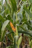 Rotting corn still on the stalk. Corn that was never picked rotting on the stalk Royalty Free Stock Photography