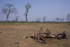Rotting cow corpse eaten by vultures, Lumbini, Nepal Royalty Free Stock Photo