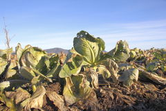 Rotting Crop. Acres of rotting cabbage lay unharvested in a farmers field Stock Photography