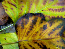 Rotting and dying leaves Royalty Free Stock Photography