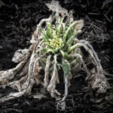 Rotting Kohlrabi. On the garden soil/Artistically alienated to create a grungy somber atmosphere Stock Photography