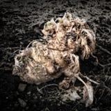 Rotting Kohlrabi. On the garden soil /Artistically alienated to create a grungy somber atmosphere Stock Photos