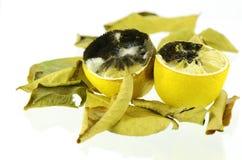 Rotting lemon fruit. Royalty Free Stock Photos