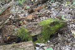 Moss covered decaying log. A rotting log in the forest weathered and decaying covered with moss among the leaves of the forest floor royalty free stock image