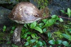 Rotting Mushroom Royalty Free Stock Images