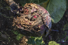 Rotting Red Cabbage Stock Photos