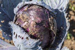 Rotting Red Cabbage Stock Images
