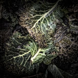 Rotting Savoy Leaves Royalty Free Stock Image