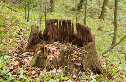 Rotting stump. Old rotting stump in the spring forest Stock Photography