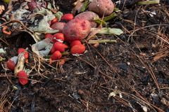 Rotting tomatoes, potatoes and other kitchen food scraps beside rich organic soil, copy space Royalty Free Stock Images