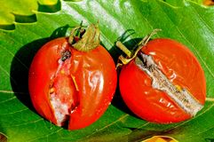 Rotting tomatoes. Ripe red tomatoes which have split and are rotting, UK Stock Image