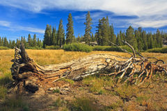 Rotting tree at Carson Pass Royalty Free Stock Photography