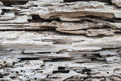Rotting Tree Detail. Portion of a large tree rotting and decomposing on the beach with beach sand in the holes and slits of the decaying wood. Photo image of Royalty Free Stock Photos
