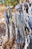 Rotting Tree Stump Stock Photo
