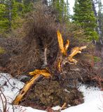 A rotting tree stump in the yukon territories in the springtime Stock Image