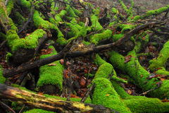 Rotting trees Stock Image