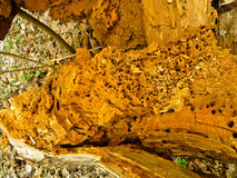 Rotting trunk. In a forest Stock Photography