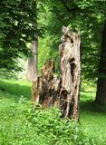 Rotting trunk. Old rotting trunk of a dead tree in green forest Royalty Free Stock Photo