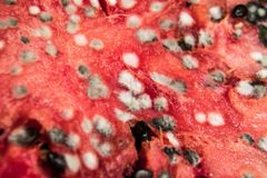 Rotting Watermelon. With lots of molds Royalty Free Stock Photos