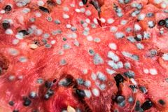 Rotting Watermelon. With lots of molds Stock Photo