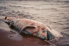 Rotting whale carcass Royalty Free Stock Photo