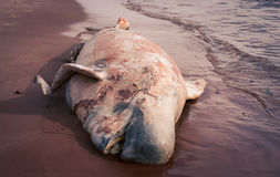 Rotting whale carcass Stock Photo