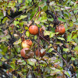 Rotting wild apples Stock Image