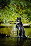 RottingCorso svart hund i natur Royaltyfri Foto