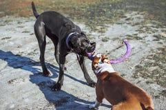 Rottingcorsoen för två spelar den unga hundar och en amerikanska Staffordshire terrier med en leksak på gatan Royaltyfri Bild
